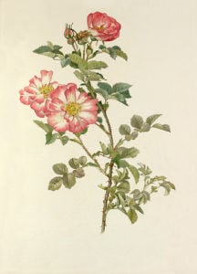 Sweet-Briar 'Janet's Pride' by Alfred William Parsons