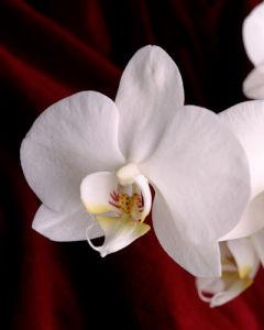Beaulieu Orchid by Deborah Schenck