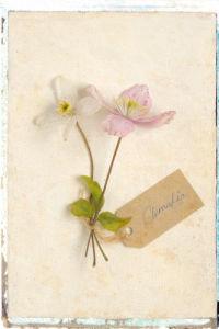 Clematis by Deborah Schenck