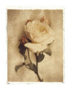 Old English Rose by Deborah Schenck