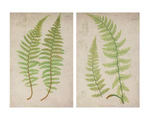 Two Ferns by Deborah Schenck