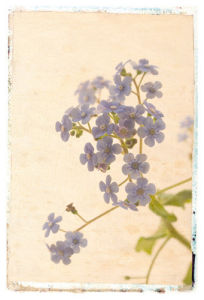 Vintage Forget Me Not by Deborah Schenck