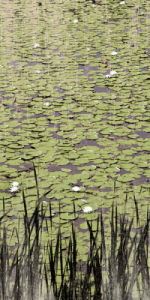 Lily Pond II by Erin Clark