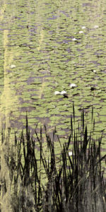 Lily Pond I by Erin Clark