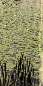 Lily Pond III by Erin Clark