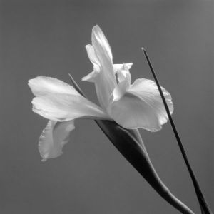 Iris IV by Tom Artin