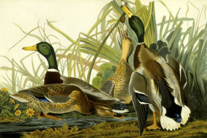 Mallard Duck by John James Audubon