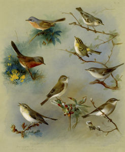 Subalpine Warbler, Dartford Warbler, Willow Wren, Wood Wren by Archibald Thorburn
