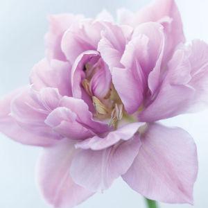 Lilac double Tulip II by Sabina Ruber