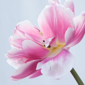 Tulip Melrose by Sabina Ruber