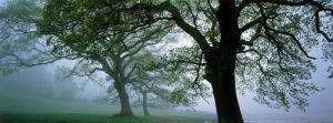The Three Oaks by Kim Sayer