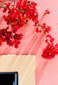 Bougainvillea in the sun by Kim Sayer