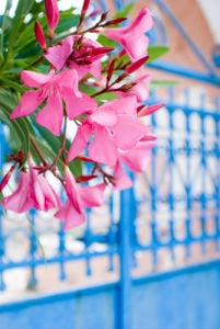 Blue gate with pink flowers by Kim Sayer