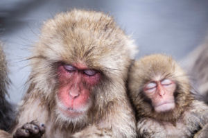 Snow Monkeys by David Levene