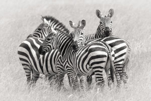 Zebras by Kirill Trubitsyn