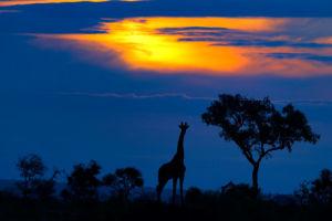 Giraffe at Sunset by Mario Moreno