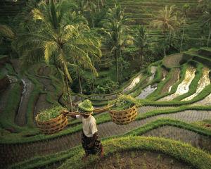 Rizière - Bali, Indonésie by Robert Diagentur