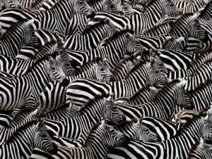 Zèbres, Kenya by Art Wolfe