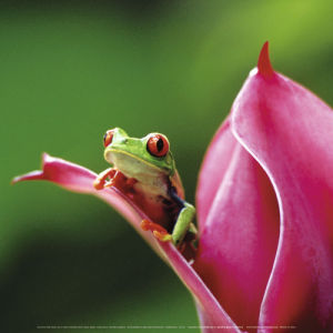 Red-eyed tree frog, Costa Rica by Atelier