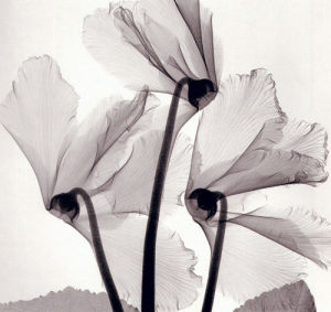 Cyclamen Study I by Steven N. Meyers