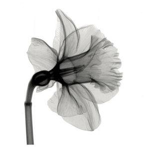 Daffodil by Steven N. Meyers