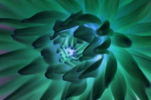 Green Chrysanthemum by Richard Osbourne
