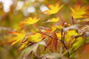 Golden Maple Leaves by Richard Osbourne
