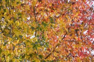 Bright Leaves III by Richard Osbourne