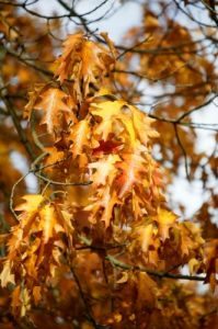 Autumn Oak Leaves by Richard Osbourne