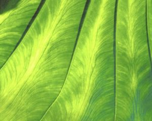 Banana Leaf (Detail) by Richard Osbourne