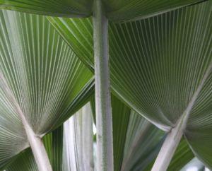 Palm Fans by Richard Osbourne