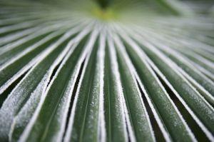 Frosty Palm Leaf by Richard Osbourne