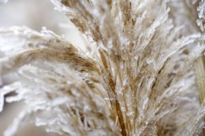 Hoar Frost On Pampas Grass by Richard Osbourne