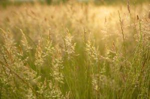 Golden Grasses I by Richard Osbourne