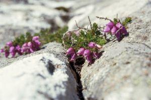 Heather On Rocks by Richard Osbourne