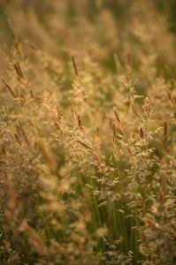Golden Grasses II by Richard Osbourne