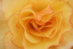 Begonia III by Richard Osbourne