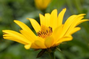 Heliopsis Flower by Richard Osbourne