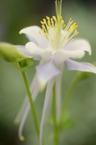 Aquilegia by Richard Osbourne