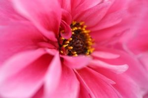 Pink Dahlia by Richard Osbourne