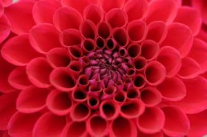 Red Dahlia by Richard Osbourne