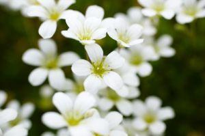 White Saxifrage I by Richard Osbourne
