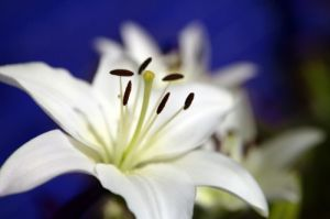 White Lily by Richard Osbourne