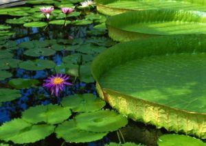 Lotus Blossom I by Richard Osbourne