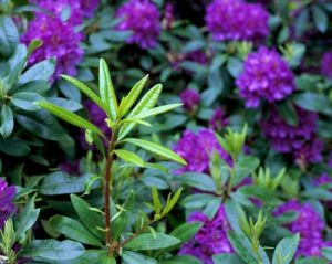 Purple Rhododendron by Richard Osbourne