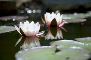 Waterlily V by Richard Osbourne