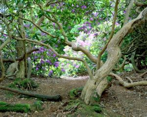 Rhododendron Trees by Richard Osbourne