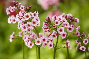 Candelabra Primulas I by Richard Osbourne