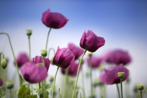 Pink Poppies - III by Richard Osbourne
