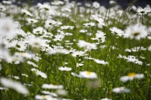 Oxeye Daisies I by Richard Osbourne